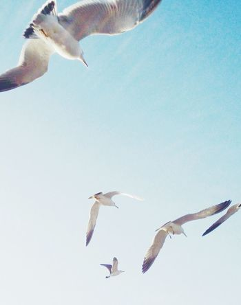 Bird Flying Animals In The Wild Animal Themes Low Angle View Animal Wildlife Mid-air Spread Wings Seagull Day Nature Clear Sky Sea Bird Black-headed Gull Outdoors No People Motion Migrating Togetherness