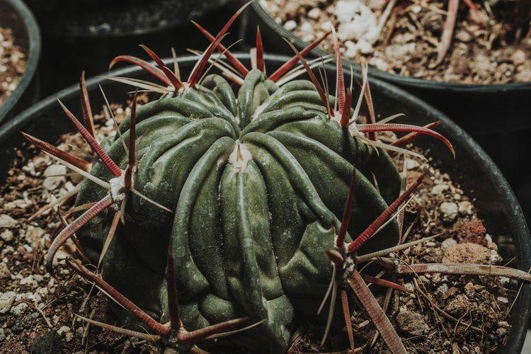 Cactus Spike
