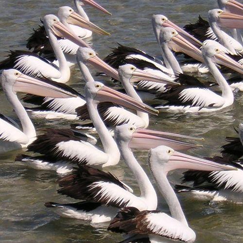 Pelicans at The Entrance Hawksbury NSW Pelicans Australianpelican Theentrance Hawksbury Australia