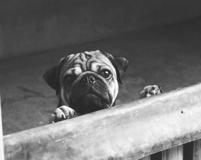 Hey!human, get me out of here. 😁😘🐕 Dog Small Animal Pug Pets One Animal No People Close-up Animal Themes Outdoors Day Cellphonephotography EyeEmNewHere Pug Life  Puglove  Puglover Pugofmylife Pugsnotdrugs  Dog Love Dogs Of EyeEm Dogslife Black And White Friday