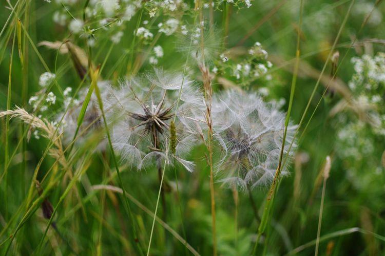Close-up of dandelion on field, pusteblume