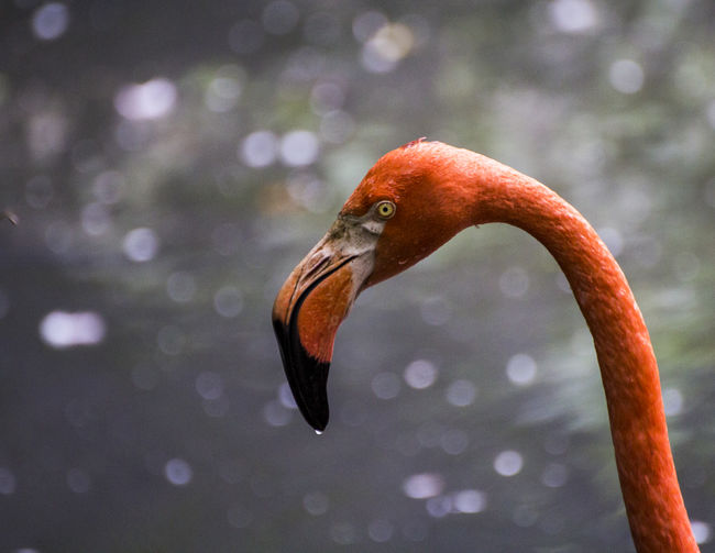 American flamingo American Flamingo Caribbean Flamingos Flamingo Phoenicopterus Ruber Bird Birds Flamingos Flamingos Up Close