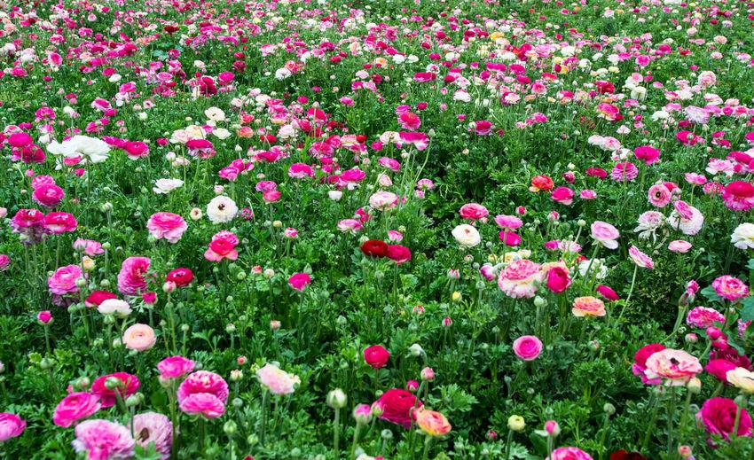 Full frame shot of pink flowers in garden