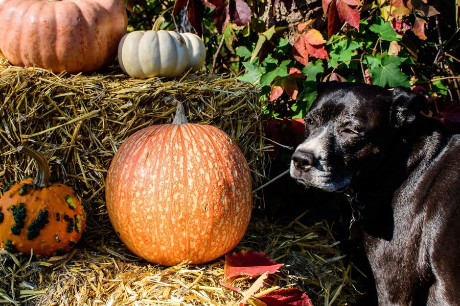Thanksgiving or Halloween Dog with pumpkins Mixed-breed Dog Labrador Pets Halloween Thanksgiving Pumpkins Dog Art And Craft No People Day Human Representation Food And Drink Plant Representation Food Decoration Creativity Close-up Nature Celebration Sunlight Grass Still Life High Angle View Outdoors