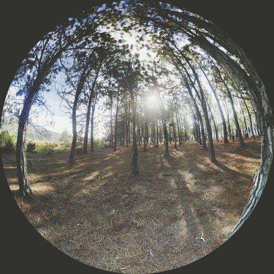 Naturaleza Pinos Bosque