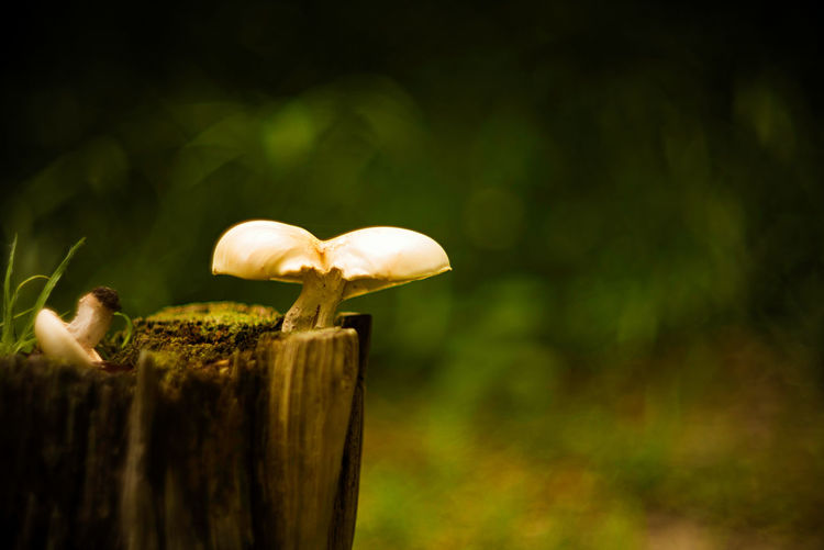 Close-up of mushrooms on wooden post