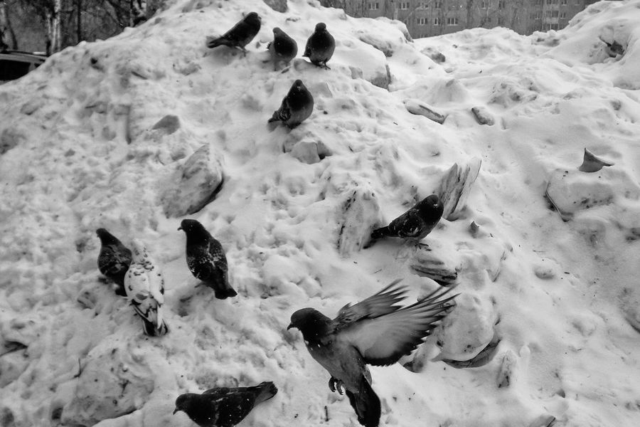 Cold Temperature Winter High Angle View Snow Animal Themes Large Group Of Animals Day Frozen No People Pigeons