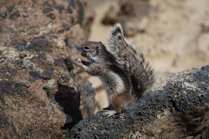 Fuerteventura, Spain Fuerteventura Squirrel Animal Themes Animal Wildlife Animals In The Wild Close-up Ground Squirrel Mammal Meerkat Nature No People One Animal Outdoors Squirrel