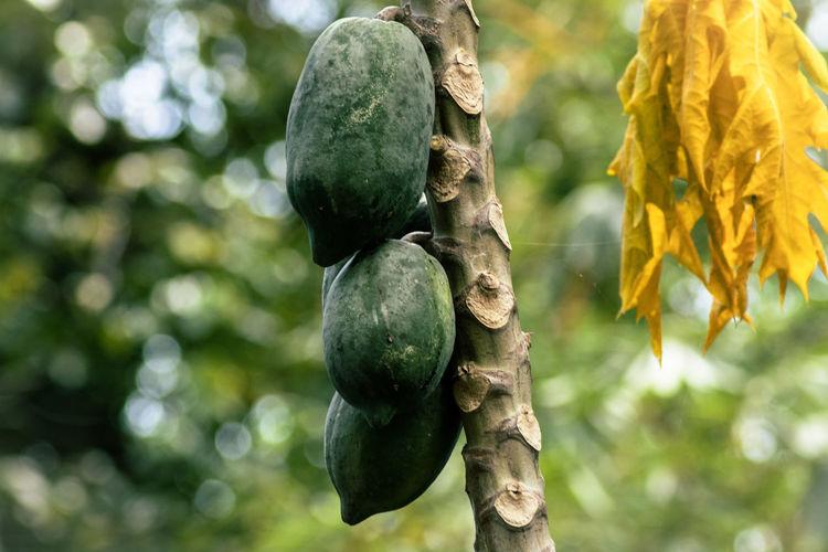 papaya in