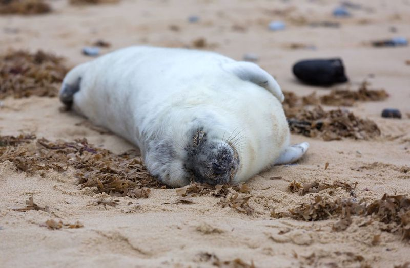 Fluffy seal pup Seals White Pup Grey Seal Pup Fluffy Furry Young Cute Sand Beach Land Animal Themes Animal Animal Wildlife One Animal Animals In The Wild Relaxation Mammal Nature Lying Down Seal - Animal No People Sleeping Outdoors Eyes Closed  Day Resting Young Animal Animals In The Wild Nature