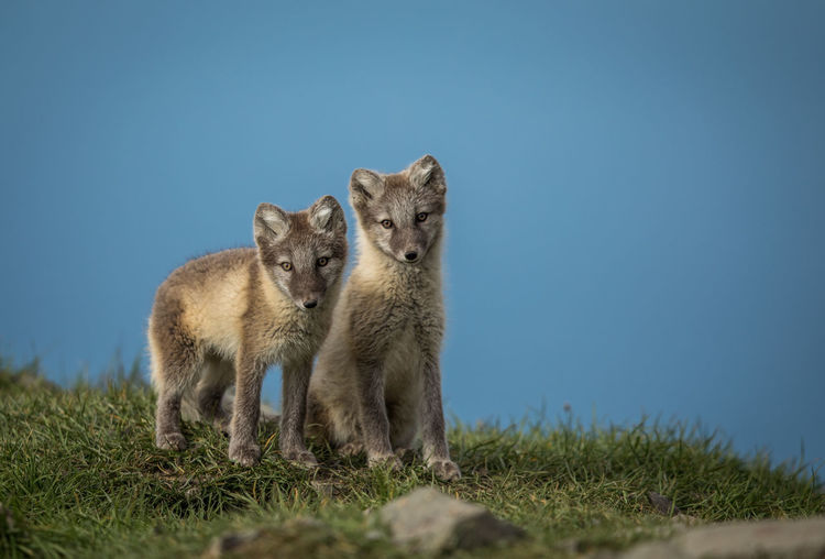 Portrait of arctic foxes on grassy field against clear blue sky