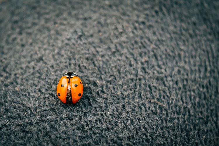 Ladybug Insect