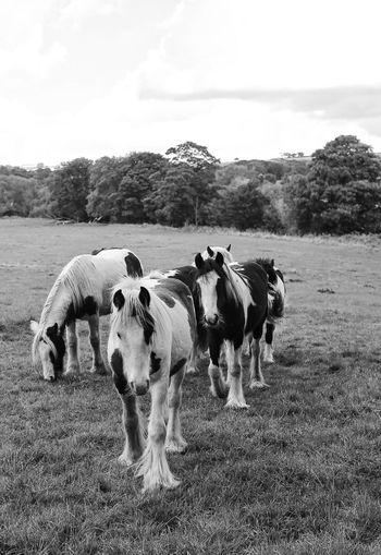 Horses Horse Animals Animal_collection TheMinimals (less Edit Juxt Photography) Fortheloveofblackandwhite Blackandwhite Photography Black And White Blackandwhite EyeEm Gallery
