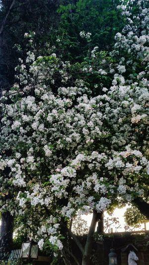 Blossom Blossoms  Blossoming  Blossom Tree Blossoming Tree Blossom Flowers Blossom Time🌺 Blossoming Fresh & Bright Blossom Flower Blossoms Blooming Blossoms Tree Blooming Blooms Fresh Beauty Nature Environment Enlighten Envigure Bright Flowers Romantic Tree