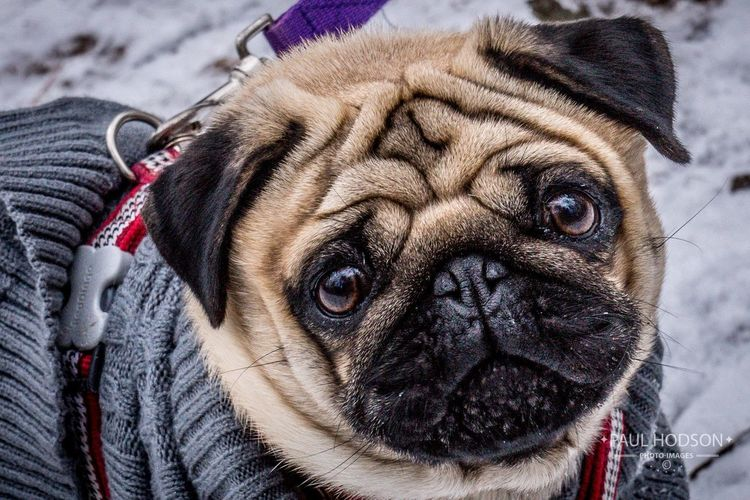 Cute pug dog in