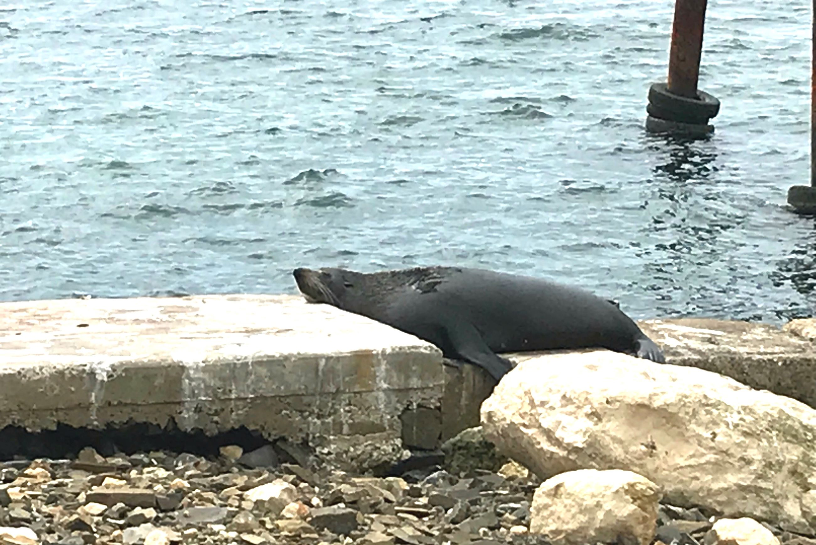 sea, water, one animal, animal themes, rock - object, day, no people, sea lion, outdoors, animals in the wild, nature, mammal, animal wildlife, aquatic mammal, close-up, sea life