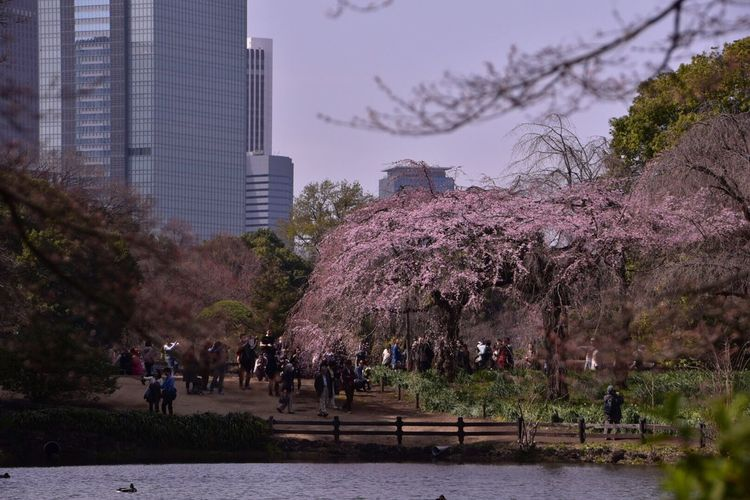 Urban Spring Fever Japan Cherry Blossoms Sinjukugyoen Tokyo,Japan Urban Landscape #Nature #photography