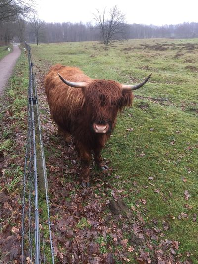 One Animal Animal Themes Horned Nature Mammal Highland Cattle Domestic Animals Landscape Outdoors Standing Beauty In Nature No People Field Day Grass Tree Sky
