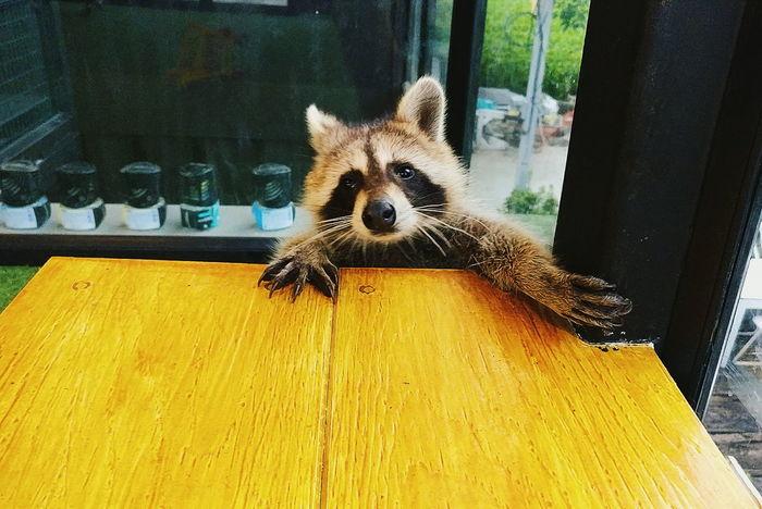 Raccoon Animal Raccoon Raccoon Lover Indoors  No People Raccoon Time EyeEmNewHere