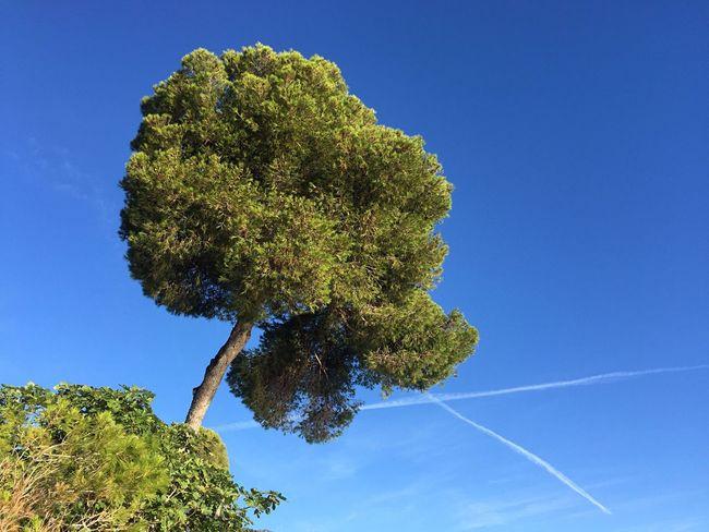 Tree Sky Sea Pine Pine Tree Sea And Sky Seascape Skyline South Côte D'Azur Colors Blue Green Neighborhood Map