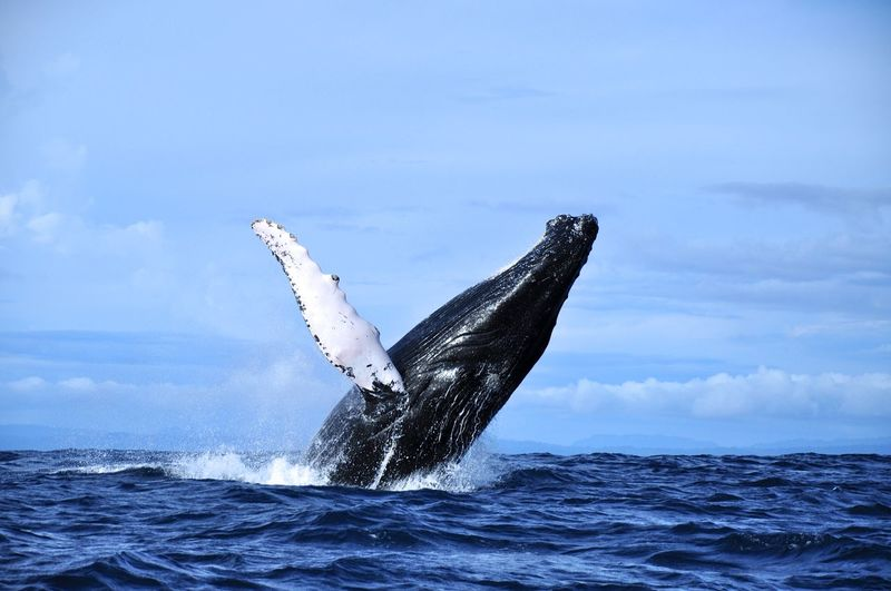 Animal Themes Animals In The Wild Aquatic Mammal Beauty In Nature Choco Colombia Horizon Over Water Humpback Whale Mammal Nature Nuquí One Animal Pacific Ocean Sea Sea Life South America Spotted Water Whale Whale Watching Animals The Great Outdoors - 2017 EyeEm Awards Perspectives On Nature An Eye For Travel Capture Tomorrow