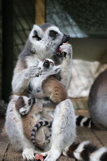 Lemurs Mother