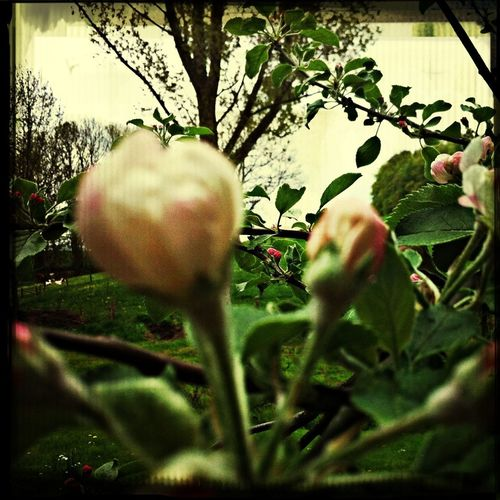 Taking Photos Apple Blossoms Apple Blossom Things That Are Green