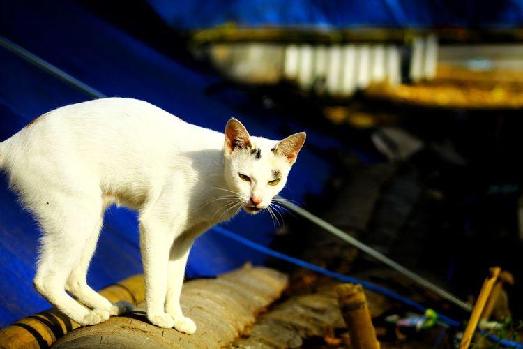 Cat White Pets