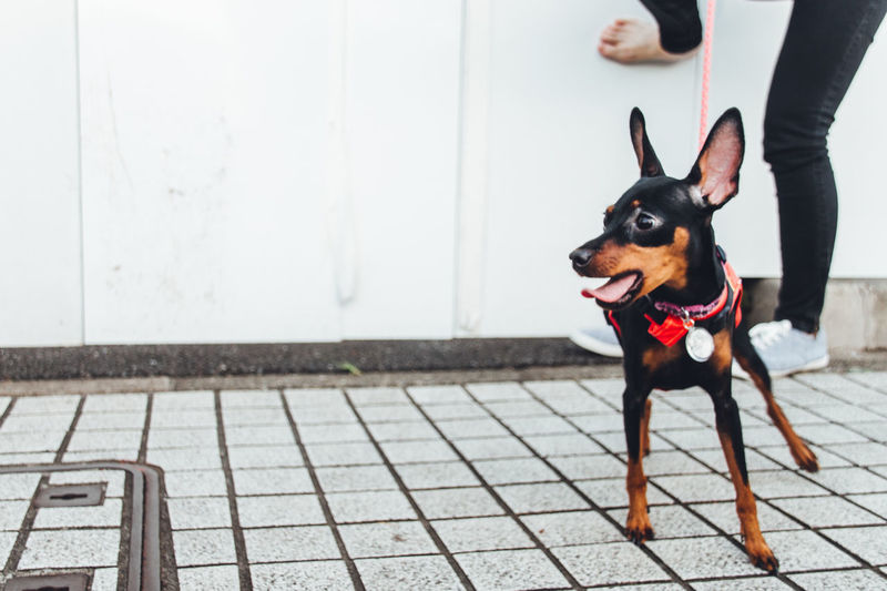 Doberman Pinscher Standing On Footpath Against Wall