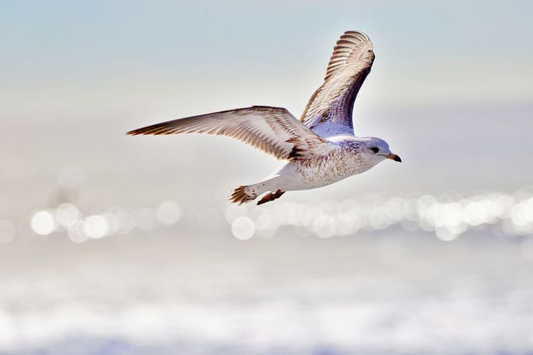 Bird Animal Themes Animal Animal Wildlife Animals In The Wild Flying Spread Wings One Animal Mid-air Motion Nature No People Outdoors Seagull Water Sea Focus On Foreground