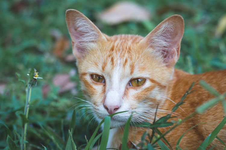Close-Up Portrait Of Cat On Grassy Field
