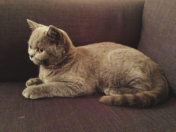 Kitten British Shorthair Cute Pets
