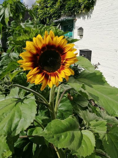 Flower Fragility Flower Head Growth Nature Beauty In Nature Freshness Plant Petal Day No People Outdoors Sunflower Share Your Adventure Nature Leaf Shropshire Town Blooming Close-up Sunflower 🌻 Last Days Of Summer The Week On EyeEm