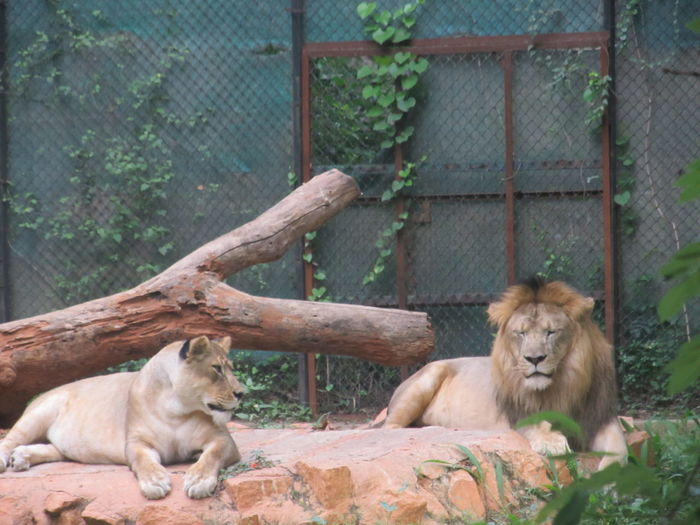 Lion and lioness relaxing against the wall