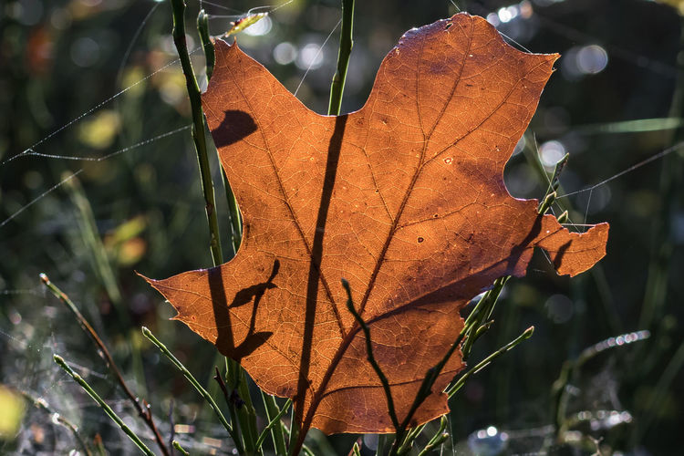 Celebrating the morning in the forests of The Veluwe, The Netherlands - Maple leaf with light from behind, showing all details Autumn Close-up Forest Forest Photography Forestwalk Leaf Maple Maple Leaf Morning Morning Light Nature Nature Nature Photography Nature_collection Naturelovers
