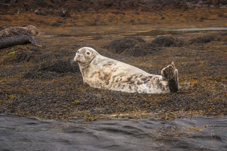 Seals In Muddy Shore
