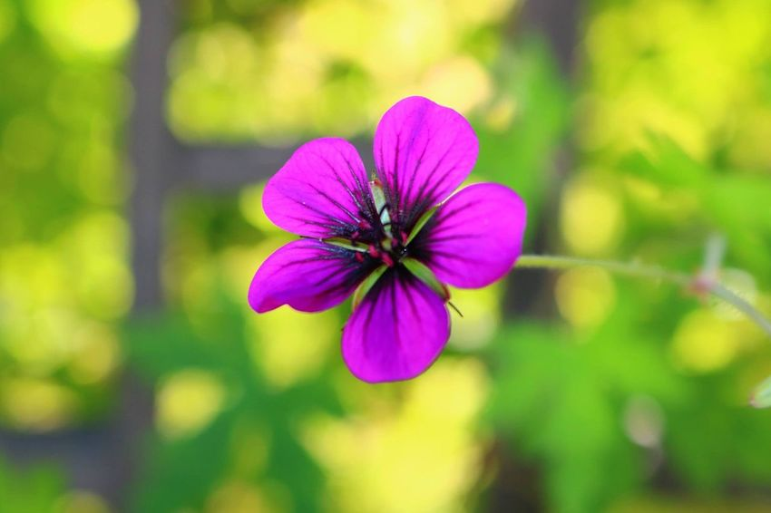 Flowers Freshness Flower Fragility Petal Flower Head Growth Close-up Beauty In Nature Stem Purple Nature Springtime Focus On Foreground Season  In Bloom Single Flower Plant Vibrant Color Pink Color Botany Like4like Canonphotography