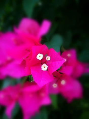 ดอกเฟื่องฟ้า Flowers Flower Flower Collection Enjoying Life Huawei P9 Plus Colorful Thailand HuaweiP9plus
