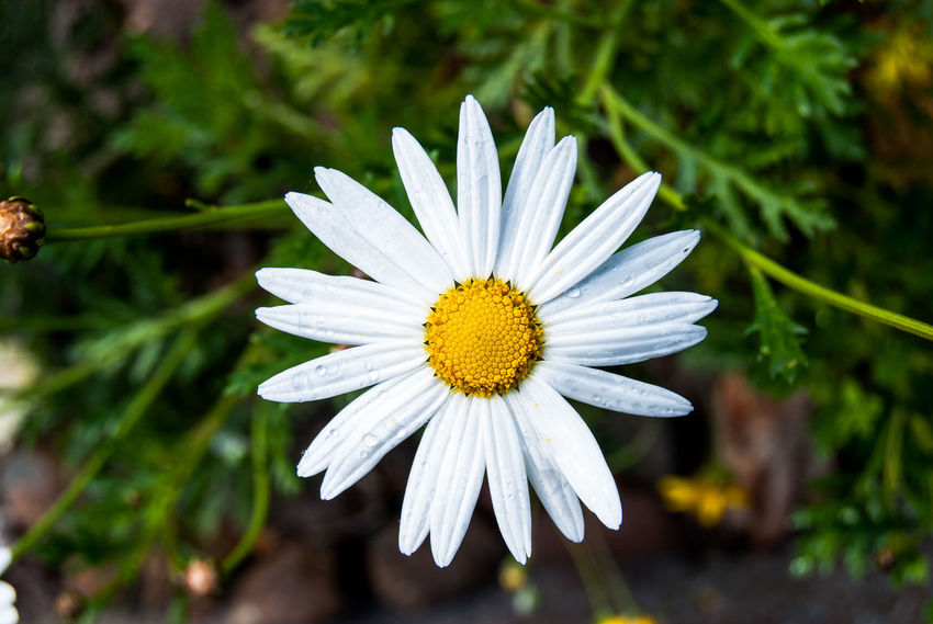 Beauty In Nature Close-up Daisy Day Flower Flower Head Flowering Plant Focus On Foreground Fragility Freshness Growth Inflorescence Nature No People Outdoors Petal Plant Pollen Vulnerability  White Color