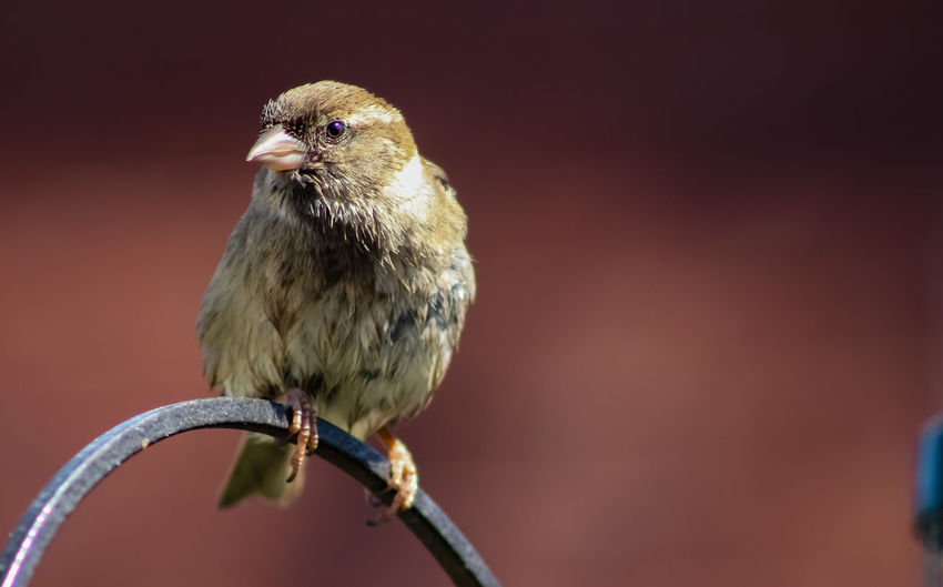 Animal Animal Head  Animal Themes Animal Wildlife Animals In The Wild Bird Branch Close-up Copy Space Day Focus On Foreground Full Length Nature No People One Animal Outdoors Perching Sparrow Twig Vertebrate Young Animal