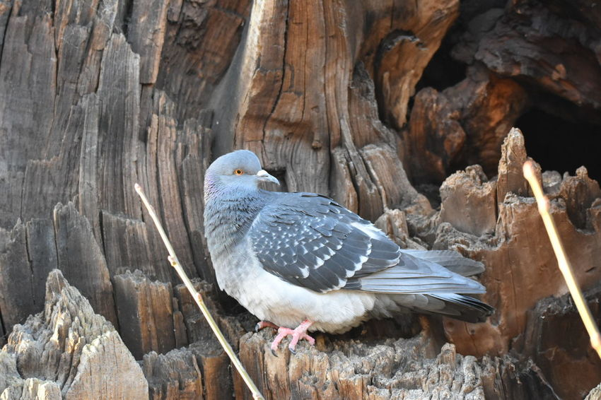 pigeon Bird Animal Themes Animals In The Wild Animal Wildlife One Animal No People Perching Nature Day Tree Outdoors LONDON❤ Greenwich Park Close-up