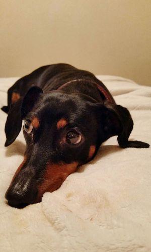 Dashchund Weeniedog Black And Tan Dog Black Dog Pets