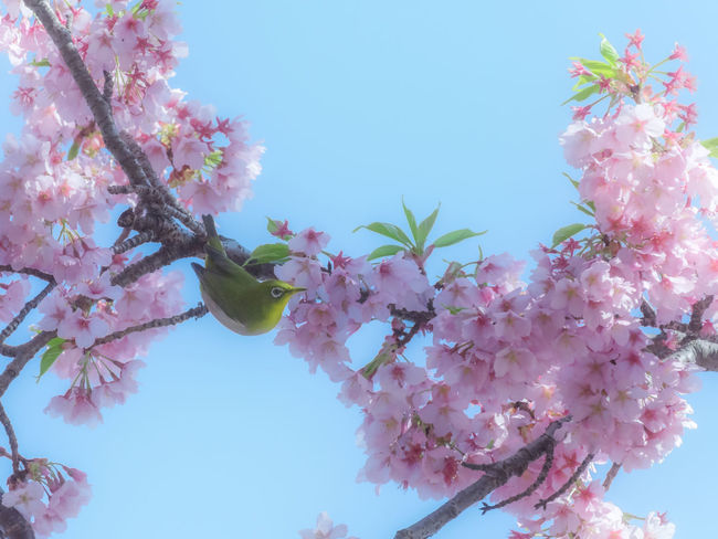 Mejiro bird perching in the cherry blossoms in Japan. Bird Photography Cherry Cherry Blossoms Japan Japanese White-eye Sakura Animal Beauty In Nature Bird Blooming Blossom Clear Sky Flower Fragility Freshness Low Angle View Mejiro Nature No People Outdoors Pink Color Sakura Blossom Sky Springtime Tree
