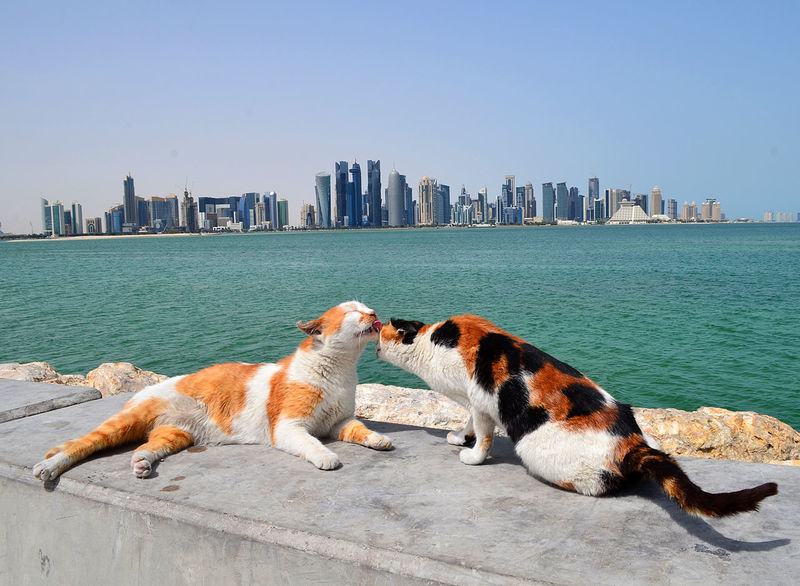 A loving cat couple posed in front of me when I tried to take a photo of the Doha skyline in Qatar. Animal Themes Architecture Building Building Exterior Built Structure Cat Cat Photography Cats City Cityscape Day Doha Doha Photos Domestic Animals For Sale Landscape Landscape_Collection No People Outdoors Qatar Qatar Photos Seaside Skyscraper Stock Photo Urban Skyline