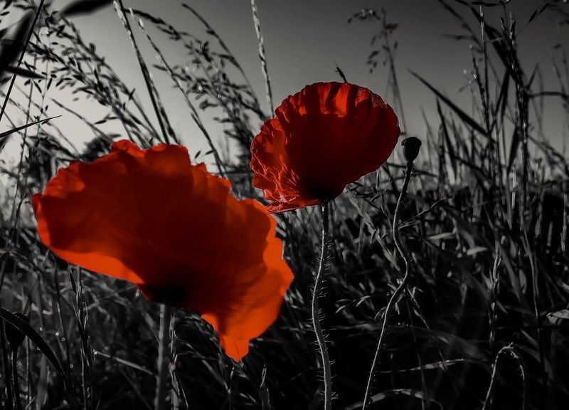 Poppies. Remember. Iphone 6 Poppies  Remembrance Flowers Selective Color Scotland