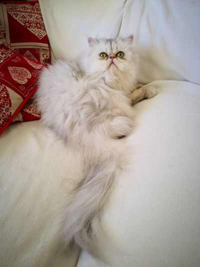 Charlotte Chinchilla Charlotte Eyes Green Animals Pets Bed Bedroom High Angle View Textile Close-up Domestic Cat Cat Persian Cat  At Home Whisker Kitten Ginger Cat