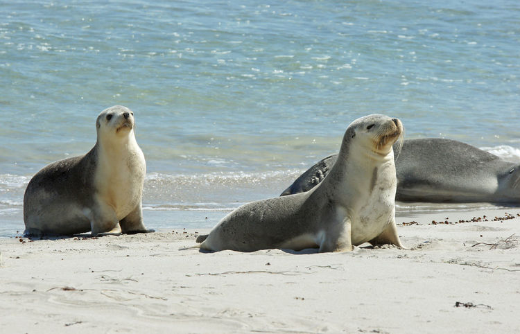 Seal Bay, Kangaroo Island, Australia Animal Animal Themes Animals In The Wild Australia Beach Close-up Coast Coastline Colony Fauna Kangaroo Island Mammal Nature No People Ocean Outdoors Sea Seal Bay Seals Tourism Tourist Attraction  Travel Travel Destinations Water Wildlife