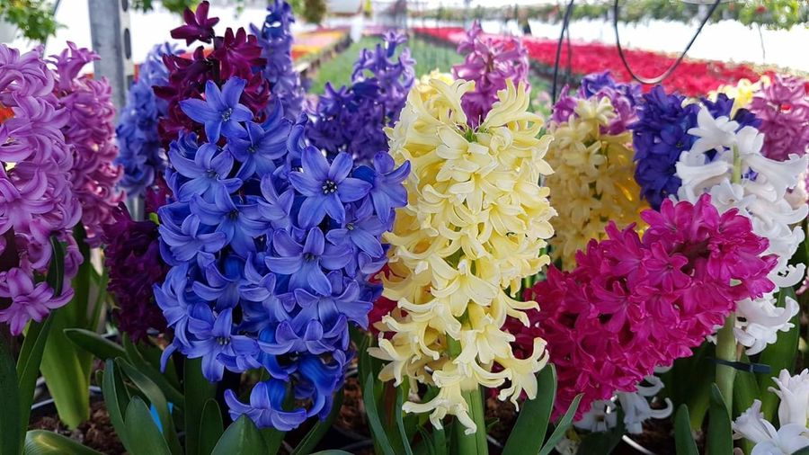 Flower Purple Growth Plant Fragility Nature Blue Beauty In Nature Outdoors Freshness Day No People Flower Head Leaf Close-up Hyacinths HyacinthFlowers Growth Hyacinth Flower Backgrounds Hyacinth Hyacinthus Beauty In Nature Hyacint Hyacinth,spring