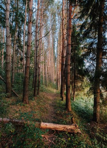 Just a forest... Forest Nature WoodLand Pine Tree Pinaceae Beauty In Nature Day No People Outdoors Tree Sky Landscape_Collection Landscape_photography Landscape River Moscow Travel Xt20 Fujifilmru Xf10-24mm Xf1024 River Fujifilm_xseries Beauty In Nature