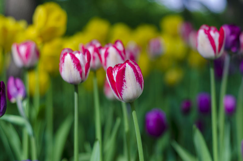Flowering Plant Flower Plant Beauty In Nature Freshness Fragility Vulnerability  Petal Close-up Growth Tulip Focus On Foreground Nature Pink Color Inflorescence Green Color Flower Head Purple Day No People Outdoors Springtime Flowerbed